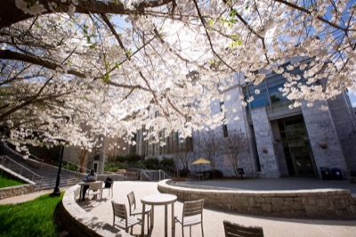Cherry trees on Quad
